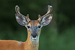 Portrait of a young white-tailed buck in velvet.