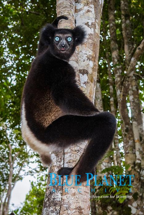 Indri or babakoto (Indri indri) on tree, juvenile, northeast Madagascar, Madagascar, Africa