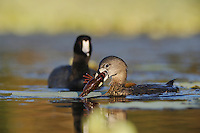 Pied-billed Grebe (Podilymbus podiceps), adult eating crayfish and American Coot (Fulica americana), Fennessey Ranch, Refugio, Coastal Bend, Texas, USA