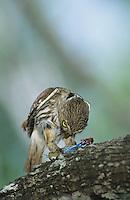 Ferruginous Pygmy-Owl, Glaucidium brasilianum, adult eating on lizard, Willacy County, Rio Grande Valley, Texas, USA, June 2004