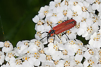 Rüssel-Rotdeckenkäfer, Rotdeckenkäfer, Rotdecken-Käfer, Blütenbesuch auf Schafgarbe, Lygistopterus sanguineus, Net-winged beetle, Lycidae