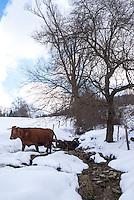 Pozzallo frazione di Romagnese (Pavia). Cooperativa Agricola Canedo: allevamento semibrado di bovini da carne. Una mucca si abbevera al ruscello --- Pozzallo Romagnese (Pavia). Canedo Agricultural Cooperative: semi-wild breeding of beef cattle. A cow drinking from the stream