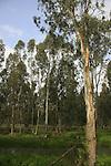 Israel, Sharon region, Eucalyptus trees in Park Hasharon Nature Reserve
