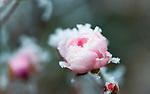 Deutschland, Bayern: die ersten Nachtfroeste zeugen vom bevorstehenden Winter - Rosenblueten mit Raureif | Germany, Bavaria: first night frost decorates rose petals with white frost
