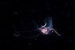 Pterapod Cavolinia laying eggs , Black Water Diving; Jellyfish; Plankton; larval crustaceans; larval fish; marine behavior; pelagic creatures; pelagic larval marine life; plankton creatures; underwater marine life; vertical migration marine creatures