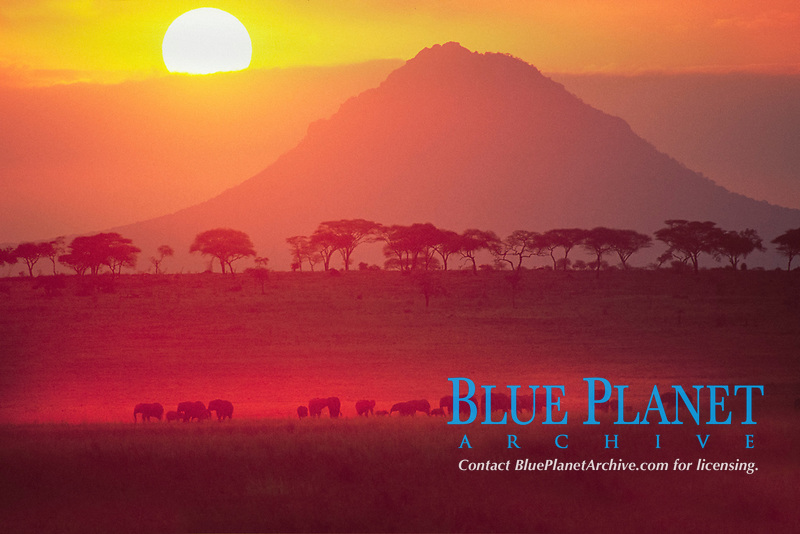 African bush elephants, Loxodonta africana, herd at sunrise, Tarangie National Park, Tanzania, Africa