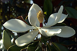 The blossom of the Magnolia grandiflora tree is large and spectacular.