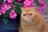 Carl, ANIMALS, photos(SWLA2206,#A#) Katzen, gatos