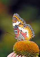Malay Lacewing Butterfly Cethosia hypsea