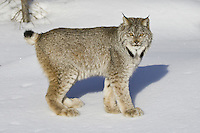 Canada Lynx in the snow - CA