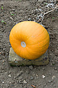 """Lift pumpkins on to bricks, stones or slats of wood to keep them off the damp soil while they ripen or """"cure"""". Mid September."""