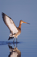 Black-tailed Godwit, Limosa limosa, adult in breeding plumage,National Park Lake Neusiedl, Burgenland, Austria, Europe