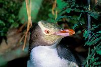 yellow-eyed penguin, Megadyptes antipodes, Enderby Island, New Zealand, endemic to New Zealand