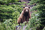 Black Bear Hunt - British Columbia 2012