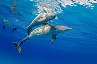Atlantic Bottlenose Dolphin, Tursiops truncatus, mother and calf, Bahamas, Atlantic Ocean