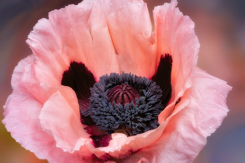 Close up of Oriental Poppy Flower