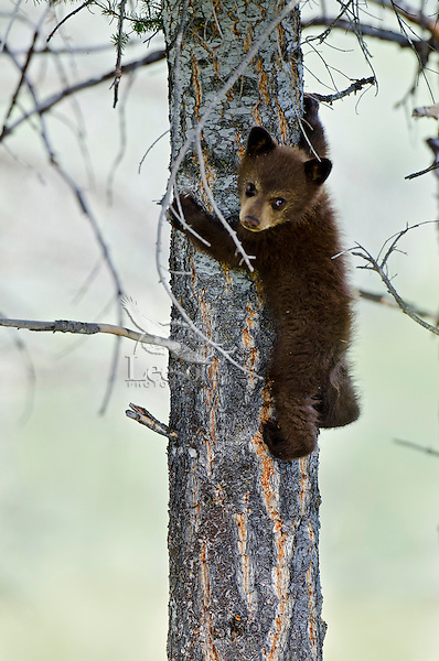 """Wild Black Bear (Ursus americanus) cub.  Western U.S., spring. (This is what is known as a """"coy""""--cub of the year.)  Cinnamon color phase (common)."""