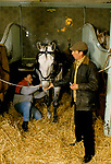 Royal Mews Buckingham Palace. Stable block checking the harnesses; a new fit. Horse is used for carriage driving  1991 1990s London UK