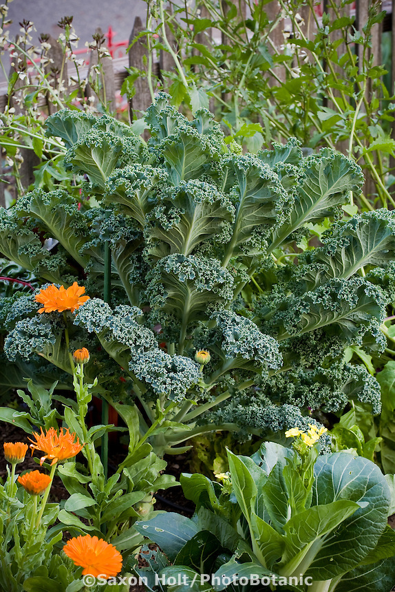 Curly Kale 'Winterbor' in garden border of edible plants, greens, vegetables, and flowers in Rosalind Creasy front yard garden