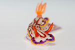A Chromodoris nudibranch (Hypselodoris kaname) on white background
