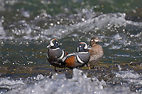 Two Harlequin Duck (Histrionicus histrionicus) males courting female on fast flowing mountain stream during spring mating season.  Western U.S.  Spring.