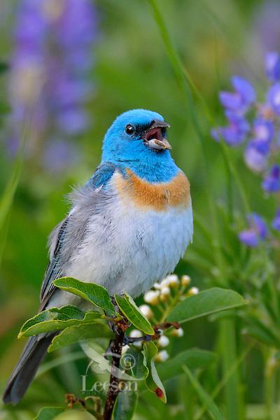 Male Lazuli Bunting (Passerina amoena) singing--lupine wildflowers in background.  Western U.S., summer.