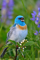Male Lazuli Bunting (Passerina amoena) singing--lupine wildflowers in background.  Western U.S., summer.