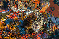 dark shyshark, Haploblepharus pictus, aka pretty Happy, Millers Point, False Bay, South Africa