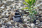 2726-FP Killdeer and chick at nest Charadrius vociferus vociferus, in Stillwater, Minnesota
