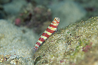 Gorgeous shrimp goby, Amblyeleotris wheeleri, Amami-ohsima island, Kagoshima, Japan, Pacific Ocean
