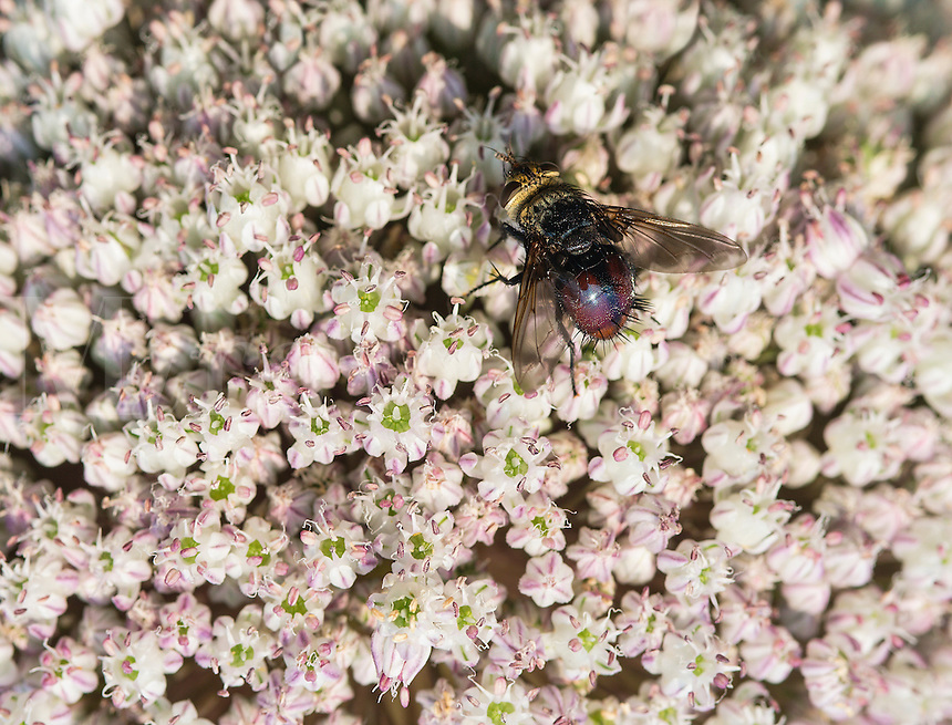Bee and onion flower, Allium