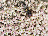 Bee and onion flower, Allium