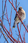 Cedar Waxwings (Bombycilla cedrorum) at Paul Revere Park in Charlestown, Boston, Massachusetts, USA
