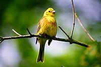 Goldammer, Männchen, Gold-Ammer, Ammer, Emberiza citrinella, yellowhammer, male, Le Bruant jaune