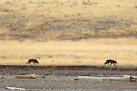 Two Gray Wolves (Canis lupus) walking beside the Lamar River in Lamar Valley, Yellowstone National Park.  Fall.