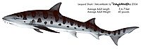 Leopard shark, Triakis semifasciata, illustration by the artist Wyland