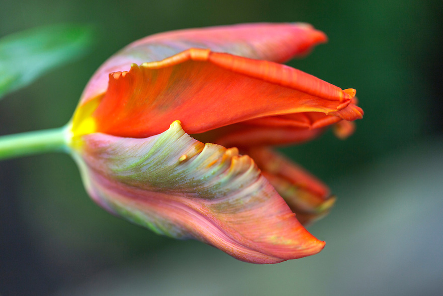 Spring time, series of tulip flowers captured with my different lenses.