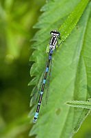 Fledermaus-Azurjungfer, Fledermausazurjungfer, Azurjungfer, Weibchen, Coenagrion pulchellum, variable damselfly
