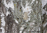0202-0903  Eastern Gray Treefrog on White Bark (Grey Tree Frog), Hyla versicolor  © David Kuhn/Dwight Kuhn Photography