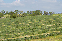 3-6-2021 Grass silage rowed up <br /> ©Tim Scrivener Photographer 07850 303986<br />      ....Covering Agriculture In The UK....