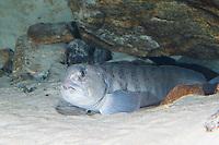 Gestreifter Seewolf, Steinbeißer, Steinbeisser, Katfisch, Anarhichas lupus, Atlantic wolffish, seawolf, Atlantic catfish, ocean catfish, devil fish, wolf eel, sea cat
