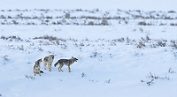 A trio of coyotes get together for a group howl.