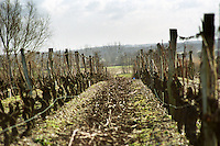 Vineyard. Cabernet Franc. Bourgueil, Loire, France