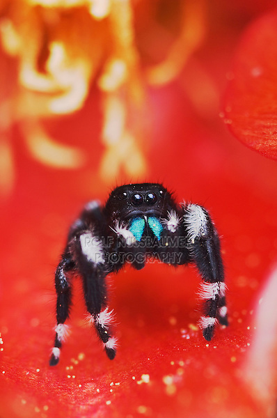 Daring Jumping Spider, Phidippus audax, adult  in Texas Prickly Pear Cactus (Opuntia lindheimeri) blossom, Uvalde County, Hill Country, Texas, USA