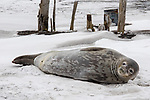 Crabeater Seal, Deception Island
