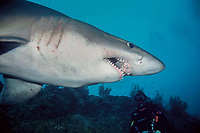 smalltooth sand tiger shark, Odontaspis ferox, and scuba diver, Isla Malpelo, Columbia, Pacific Ocean