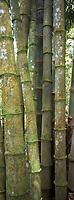France/DOM/Martinique/Balata/Les jardins: Bambous