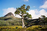 An ancient pencil pine stands below Barn Bluff on the Overland Track, Cradle Mountain Lake St Clair National Park, Tasmania.