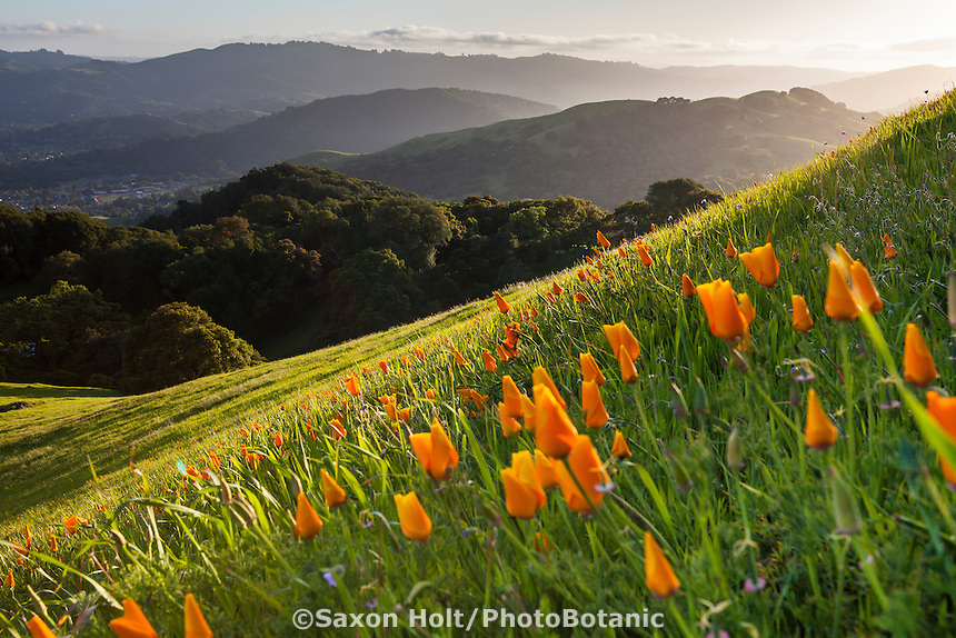 California poppies flowering on steep green hill on Mount Burdell state park in spring, Novato