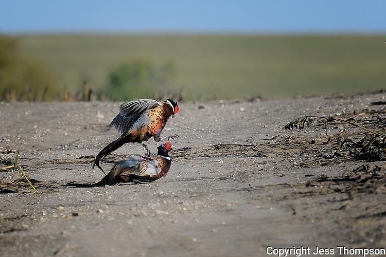 Sparring Ring-necked Pheasants, Ringneck Ranch, Tipton Kansas